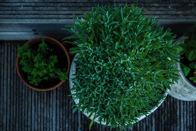 Come coltivare piante autofiorenti in vaso outdoor